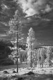 Larch forest and meadow in black and white Royalty Free Stock Photography