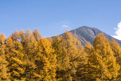 Larch forest and mountain Stock Photography
