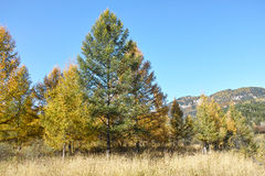 Larch forest royalty free stock photo