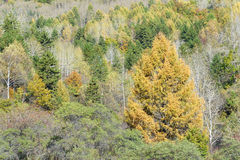Larch forest Stock Images