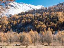 Larch forest and snowy mountain in fall Royalty Free Stock Photos