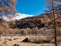 Larch forest and snowy mountain in fall Royalty Free Stock Photography