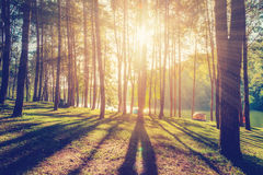 Larch forest with sunlight and shadows at sunrise Stock Images