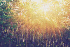 Larch forest with sunlight and shadows at sunrise Royalty Free Stock Images