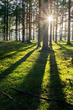 Larch forest with sunlight and shadows Stock Photos