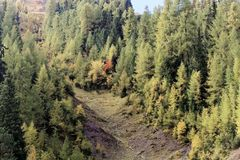 Larch forests in the Alps. In the late autumn Stock Images