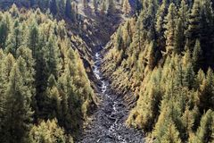 Larch forests in the Alps. In the late autumn Stock Image