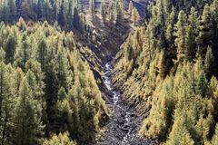 Larch forests in the Alps. In the late autumn Royalty Free Stock Photo