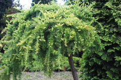 Larch in the garden Stock Photo