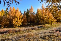 The larch on the grassland in autumn royalty free stock image