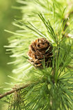 Larch Royalty Free Stock Photography