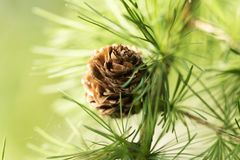Larch Royalty Free Stock Photos