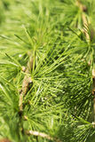 Larch Royalty Free Stock Images