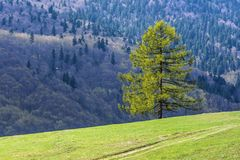 Larch Stock Photo