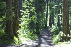 Larch grove Stock Image