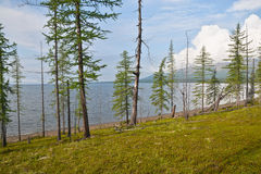 Larch on the Keta lake. Stock Photography