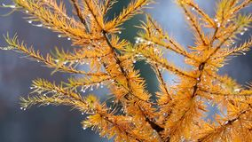 Larch autumn twig with yellow leaves. Larch Larix autumn twig with yellow leaves, Full HD stock footage