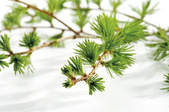 Larch (Larix), close-up Stock Images