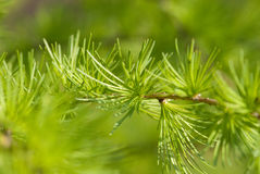 Larch macro Royalty Free Stock Photo