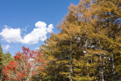 Larch and maple tree Stock Image