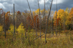 Larch and maples, autumn Stock Photo