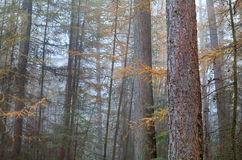Larch misty forest in autumn Royalty Free Stock Image