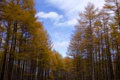 Larch path in autumn Stock Photography