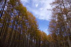 Larch path in autumn Royalty Free Stock Photos