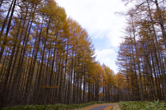 Larch path in autumn Royalty Free Stock Images