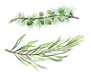 Larch pine and spruce watercolor branches. Pine. Botanical design elements Royalty Free Stock Photo