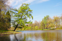 Larch on pond shore Royalty Free Stock Images