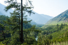 Larch at the precipice. Trekking in the Altai Mountains Stock Images
