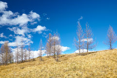 Larch rees on the slope Stock Photo