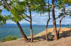 Larch on the sandy shore Royalty Free Stock Images