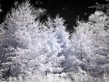Larch on sky background. Infrared photography Royalty Free Stock Photos