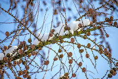 Larch with snow cover Royalty Free Stock Photography