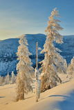 Larch in snow in mountains. Winter. A decline. Evening. Kolyma stock image