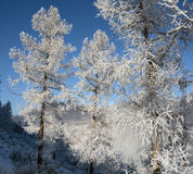 Larch in snow Stock Images