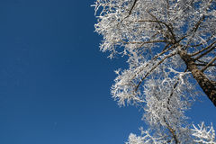 Larch in snow Royalty Free Stock Images