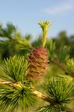 Larch strobile Royalty Free Stock Photo