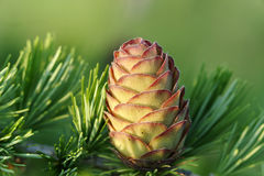 Larch strobile Stock Images