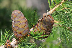 Larch strobile Stock Photos