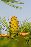 Larch strobile Stock Photo