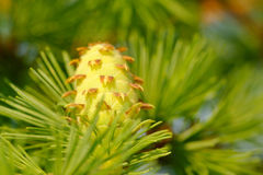 Larch strobile Stock Image