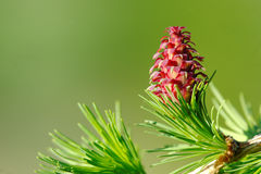 Larch strobiles Royalty Free Stock Photo