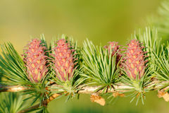 Larch strobiles Stock Photography