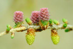 Larch strobiles Royalty Free Stock Images