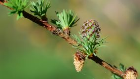 Larch strobiles and common chaffinch stock footage