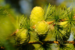 Larch strobiles Royalty Free Stock Image