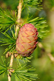 Larch strobilus Royalty Free Stock Images